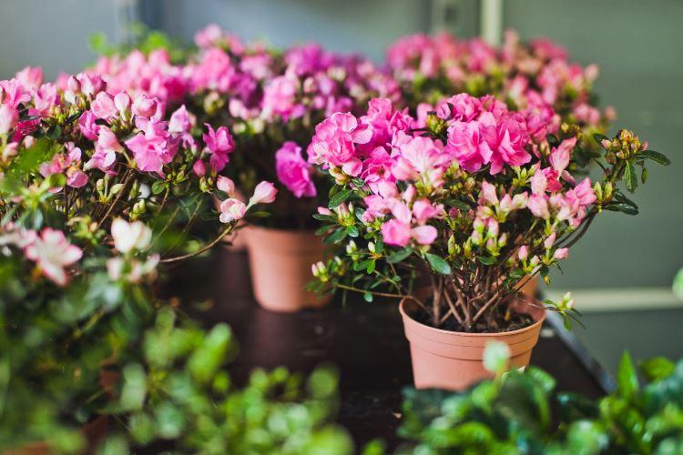 Горшечное растение